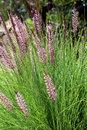 Pennisetum setaceum a perennial bunch grass native to open scrubby habitats in east africa tropical africa middle east and sw asia Royalty Free Stock Photography
