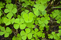 Pennywort herbs plant as its nature may be in thailand Royalty Free Stock Photo