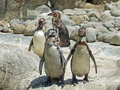 Penquins on rocks a group of four rock walking towards camera Royalty Free Stock Photos
