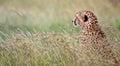 Pensive cheetah Royalty Free Stock Photo