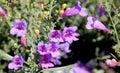Penstemon heterophyllus margarita bop blue bedder small shrubby perennial with linear deep green leaves and rose purple flowers Royalty Free Stock Image