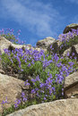 Penstemon in the mountains flowering purple colorful of figwort family grows along rocky hillside high alpine of Stock Photography