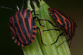 Pentatomidae graphosoma lineatum red and black striped minstrel bug macro Stock Photo