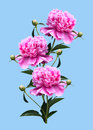 Peonies on a blue background bouquet of pink isolated Stock Images