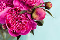 Peonies bunch of bright pink close up Royalty Free Stock Photography