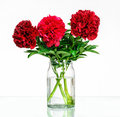 Peonies in a glass vase with water Royalty Free Stock Photo