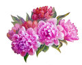 Peonies , oil painting Royalty Free Stock Photo