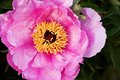 Peonies pink in the garden Royalty Free Stock Photography
