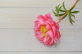 Peony in all its splendor against a wooden background Royalty Free Stock Photo