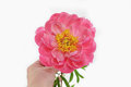 Peony in all its splendor gently hold in a hand woman s Stock Photography