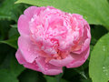 Peony bloom Stock Photography