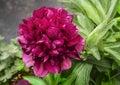 Peony blooms flower in garden dark Royalty Free Stock Photography