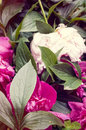 Peony blossoms and leaves close up magenta pink Royalty Free Stock Image