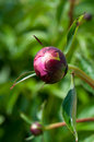 Peony bud macro shot of european flower paeonia officinalis Royalty Free Stock Images