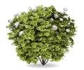 Peony bush isolated on white Royalty Free Stock Photo