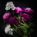 Peony Flower On Black Background