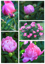Peony flower collage pink king of the flowers in spring time Royalty Free Stock Images