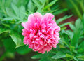 Peony flower  pink color. Royalty Free Stock Photo