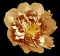 Peony flower yellow-orange on a black isolated background with clipping path. Nature. Closeup no shadows. Royalty Free Stock Photo