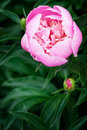 Peony flower for your greeting card Royalty Free Stock Image