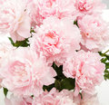 Peony Royalty Free Stock Photo