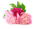 Peony Flowers garden Stock Photo