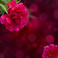 Peony flowers mauve on violet bokeh background with copy space Stock Photo