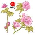 Peony flowers. Stock vector illustration botanic flowers.