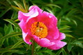 Peony and insect plant with pink flower small Royalty Free Stock Photos
