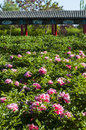 Peony park spring in full bloom very beautiful Royalty Free Stock Photos