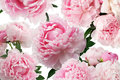 Peony pink flowers on white background. Floral pattern Royalty Free Stock Photo