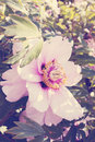 Peony tree vintage big pink flower in shade branch Royalty Free Stock Photos