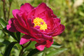 Peonys pink peony flower in garden Royalty Free Stock Image
