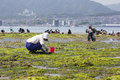 People Collecting Shellfish, Miyajima, Japan Stock Image
