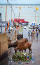 People with cows on river bank of Ganges in Varanasi, India Royalty Free Stock Photo