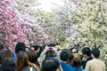 People enjoy cherry blossoms sakura in ueno park tokyo japan april is visited by up to million for annual Royalty Free Stock Images