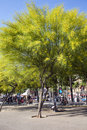 People resting in the shade flowering trees ratama spain barcelona june or parkinsonia aculeata by port olympic barcelona spain Stock Photos