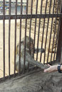 People shake hands with monkey Royalty Free Stock Photo