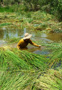 People soak in water harvest sedge mekong delta vietnam july man working unsafe condition to a kind of grass rise reservoir Stock Photo