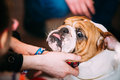 People stroking Young English Bulldog Dog Royalty Free Stock Photo
