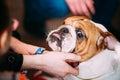 People stroking Young English Bulldog Dog Royalty Free Stock Photo