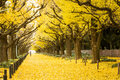 People visit yellow ginkgo trees and yellow ginkgo leaves at Ginkgo avenue. Royalty Free Stock Photo