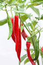 Peperoni plant spicy red and green on isolated on white background Stock Image