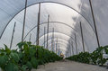 Pepper crops in greenhouse Royalty Free Stock Photo