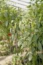 Pepper In Garden