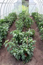 Pepper greenhouse Stock Image