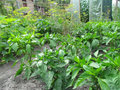 Pepper on a kitchen garden Royalty Free Stock Photo