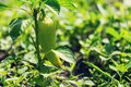Pepper plant Royalty Free Stock Photo
