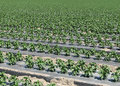 Pepper plant rows Stock Photography