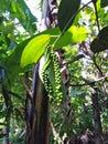 Pepper plant in Goa, India